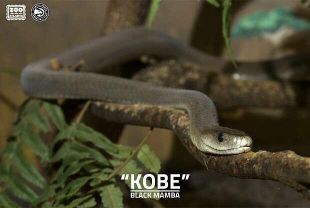 Kobe Bryant da nombre a una serpiente del Zoo de Atlantas